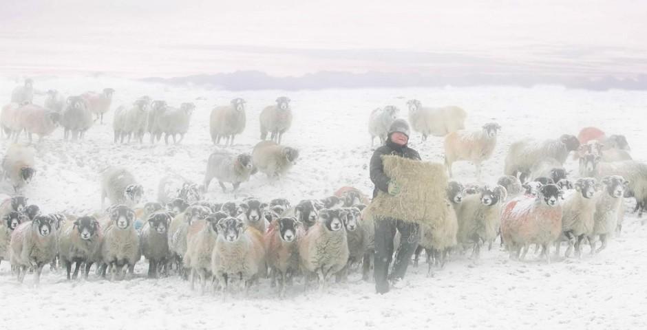 Shepherd in Ribblesdale