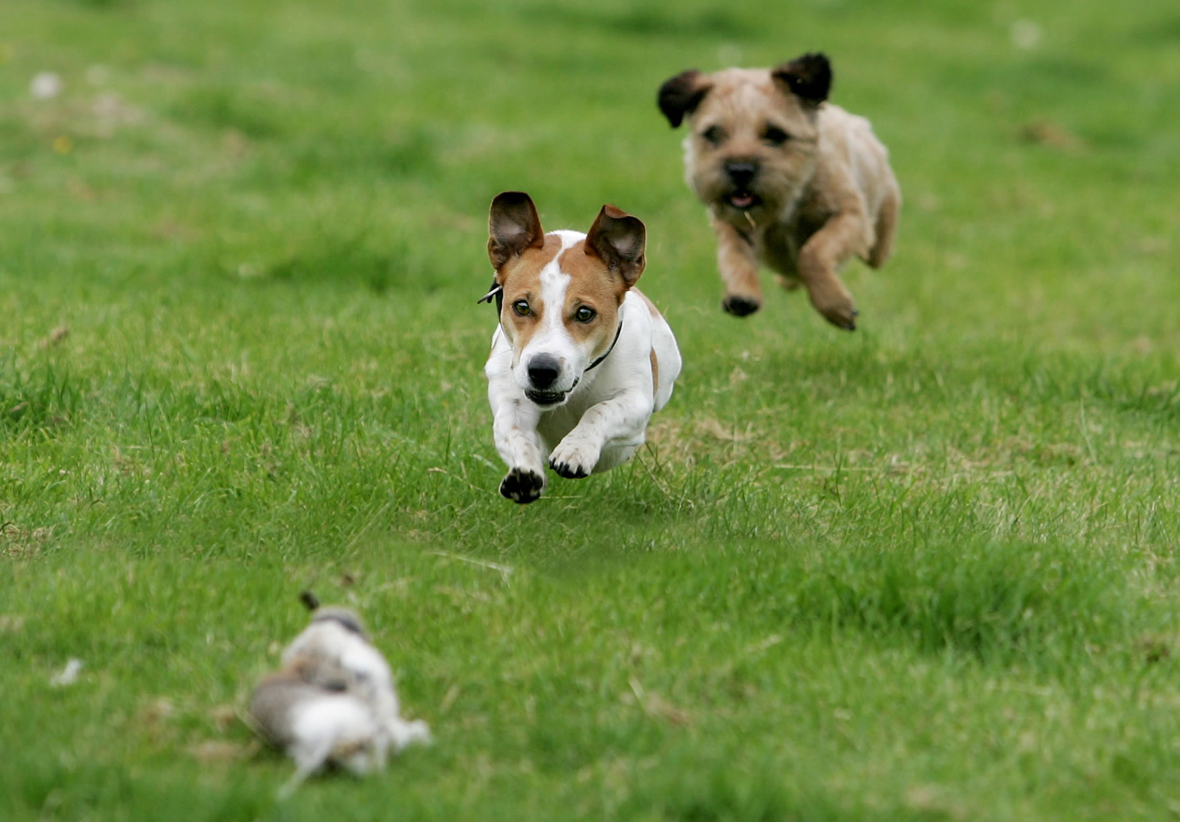 Terrier racing