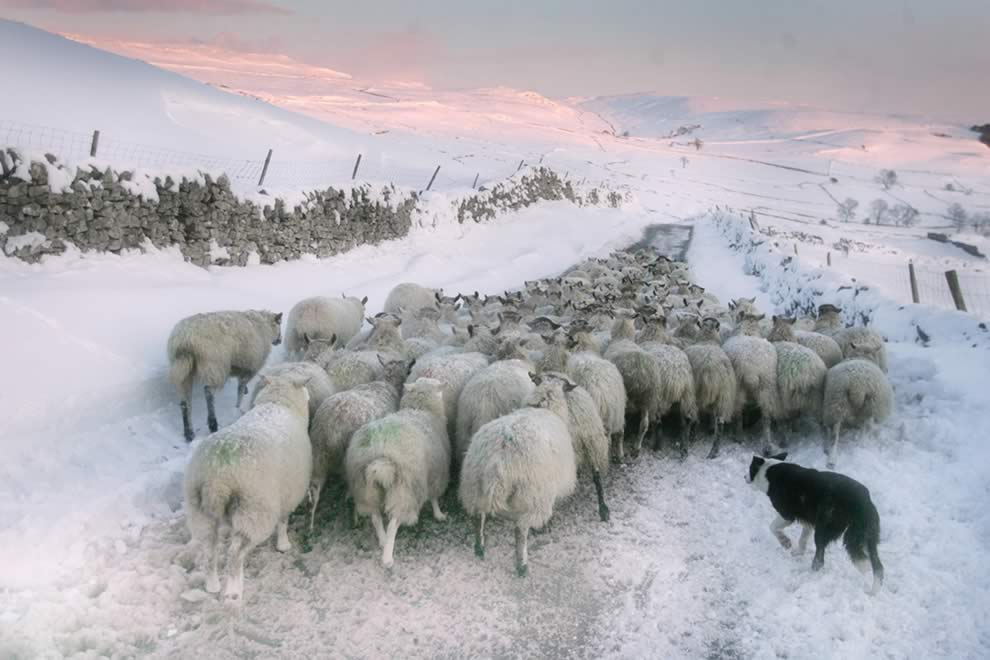 moving sheep